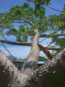 The Ceiba tree is not the tree to hug!