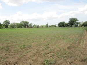 A dry struggling sesame field