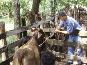 The rural credit supervisor and technical assistant for CEPRODEL, Sebastian, branding the dairy cattle for collateral. He is using acid, a safer, quicker, and more humane method of branding than using a hot iron brand.