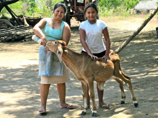 Doña Yamilette taking care of a calf whose mother she purchased with a loan, and who died giving birth.  Yamilette is paying off the loan with help from her family, instead of from the intended milk sale from the cow.