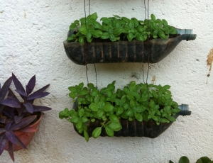Gallon water bottles make excellent seed trays along the sunny wall in the courtyard.
